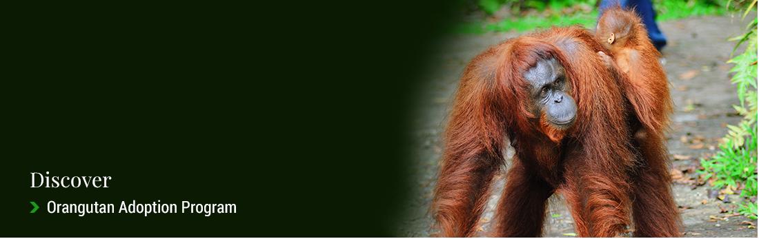 Orangutan Adoption Program | Sarawak Forestry Corporation